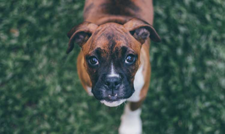 Dog Conjunctivitis: Can Dogs Get Pink Eye?