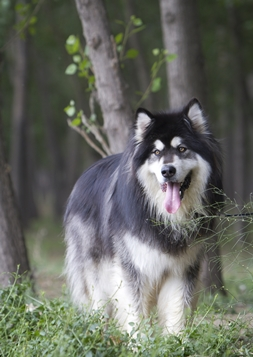 An Alaskan Malamute dog with pet insurance from Pets Best.