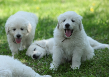 A group of white, fluffy Slovakian chuvach breed puppies play together in the grass.