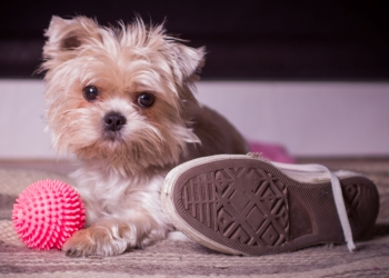 A small dog chews her toy next to a shoe.