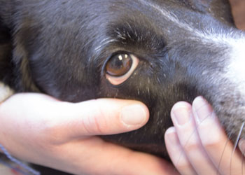 Treating your dog's pink eye with eye drops
