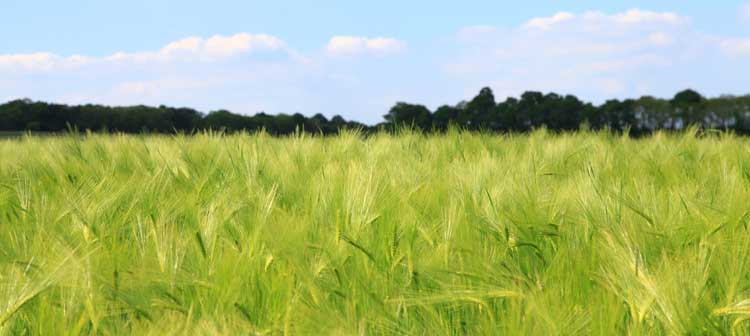 Cheat grass and foxtails occur all over the U.S.
