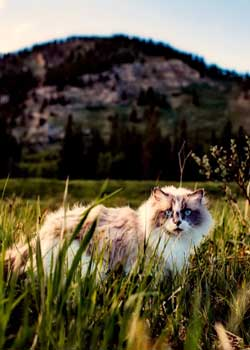 Outdoor cats are at higher risk for developing skin allergies