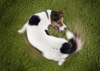 Learn why dogs spin in circles and what it means.