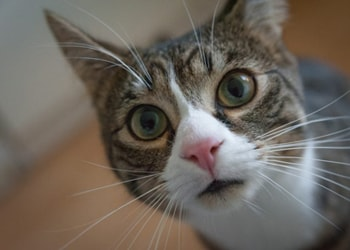 Find out what your cat's meowing means and four meows they make. From Pets Best Pet Health Insurance for dogs and cats.